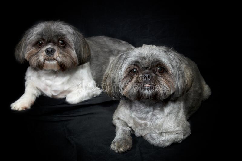Two cute shih tzu dogs lying down looking at viewer on black background. Two shih tzu brother dogs on black background, both lying down looking at viewer royalty free stock photos