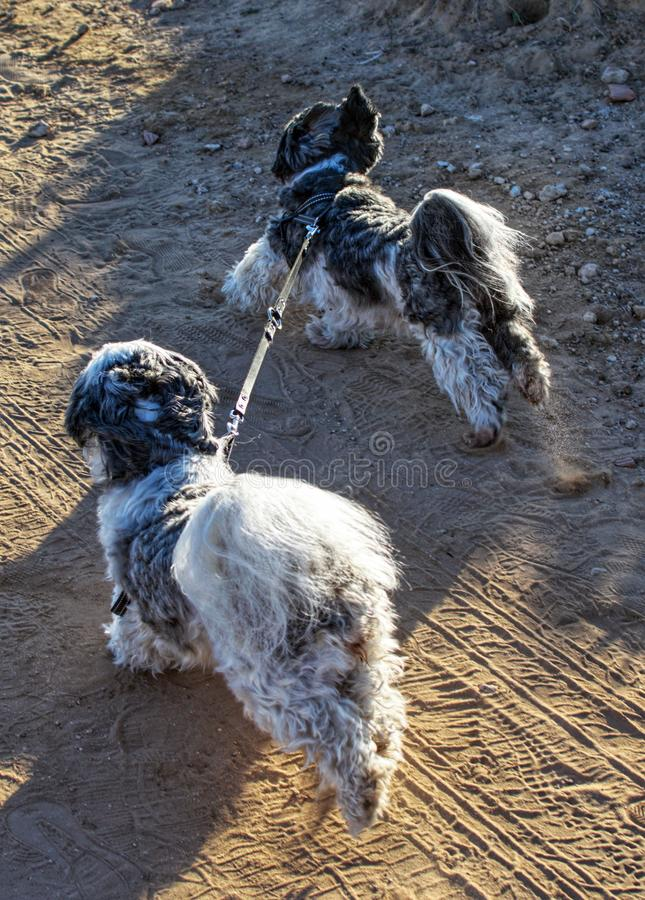 Two Shih Tzu dogs tied up with a leash running by themselves. royalty free stock photography