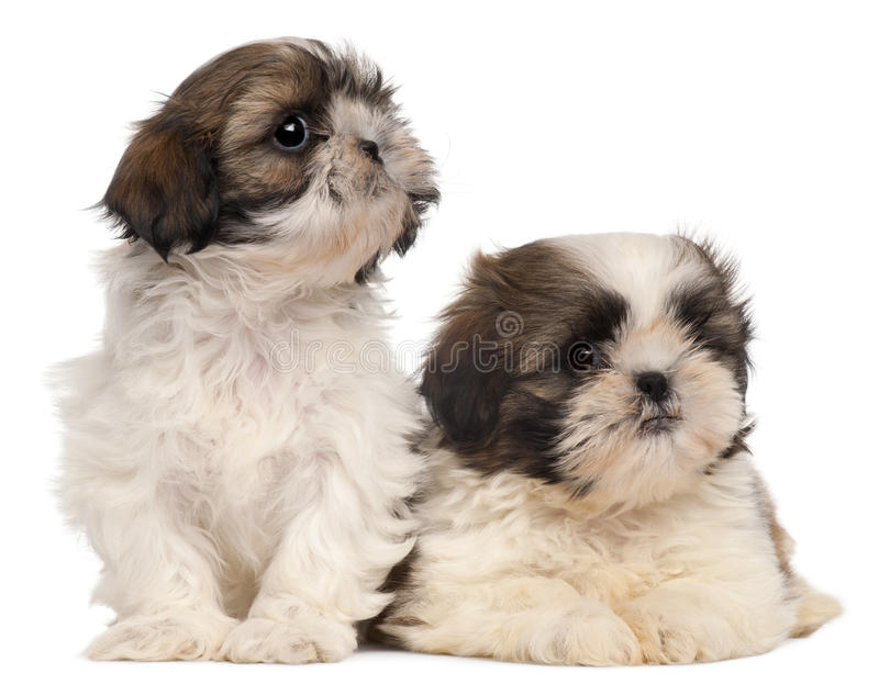Download Two Shih-tzus stock image. Image of domestic, canine - 17952713