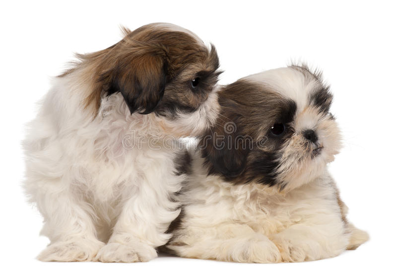 Download Two Shih-tzus In Front Of White Background Stock Photo - Image of curiosity, curious: 23088820