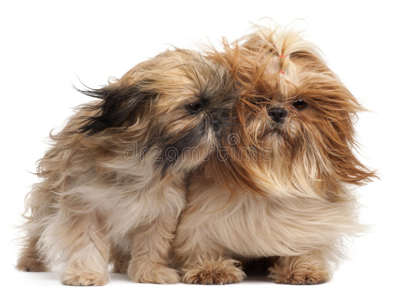 Two Shih-tzus with windblown hair stock photo