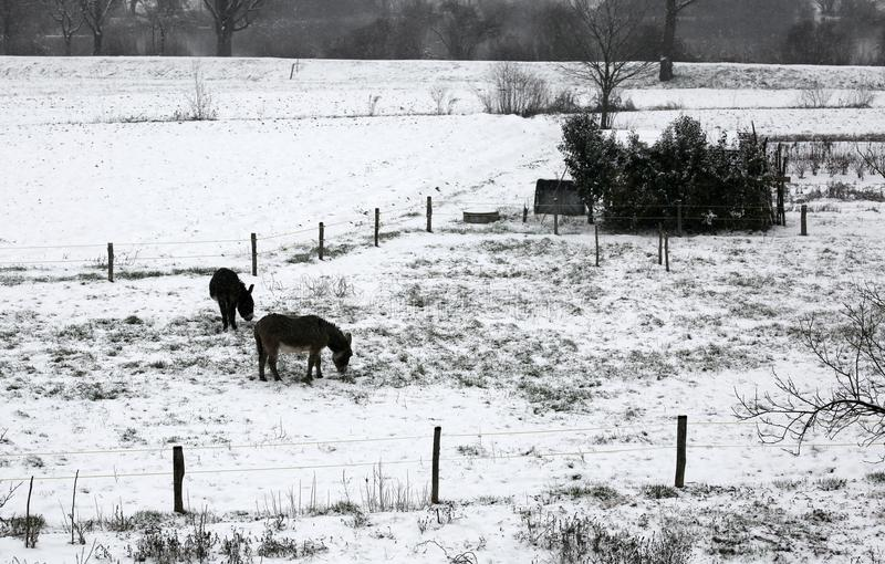 Two shivering donkeys graze the little grass that comes out of t. He snow on the frozen ground in winter royalty free stock photography