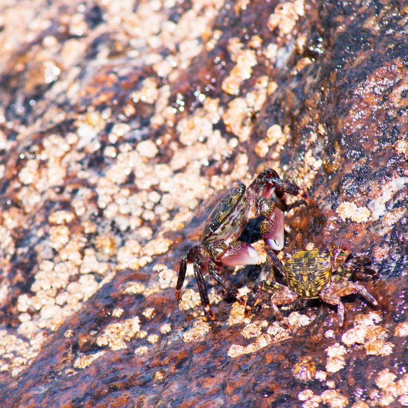 Two shore crabs sitting on a rock at the beach. royalty free stock photos