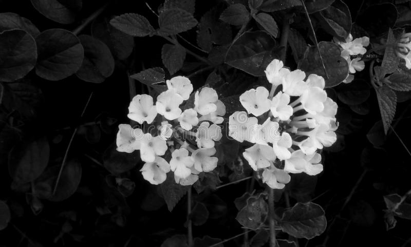 Flowers in monochrome. Two shrub tropical white wild beautiful flowers in black nature royalty free stock photos