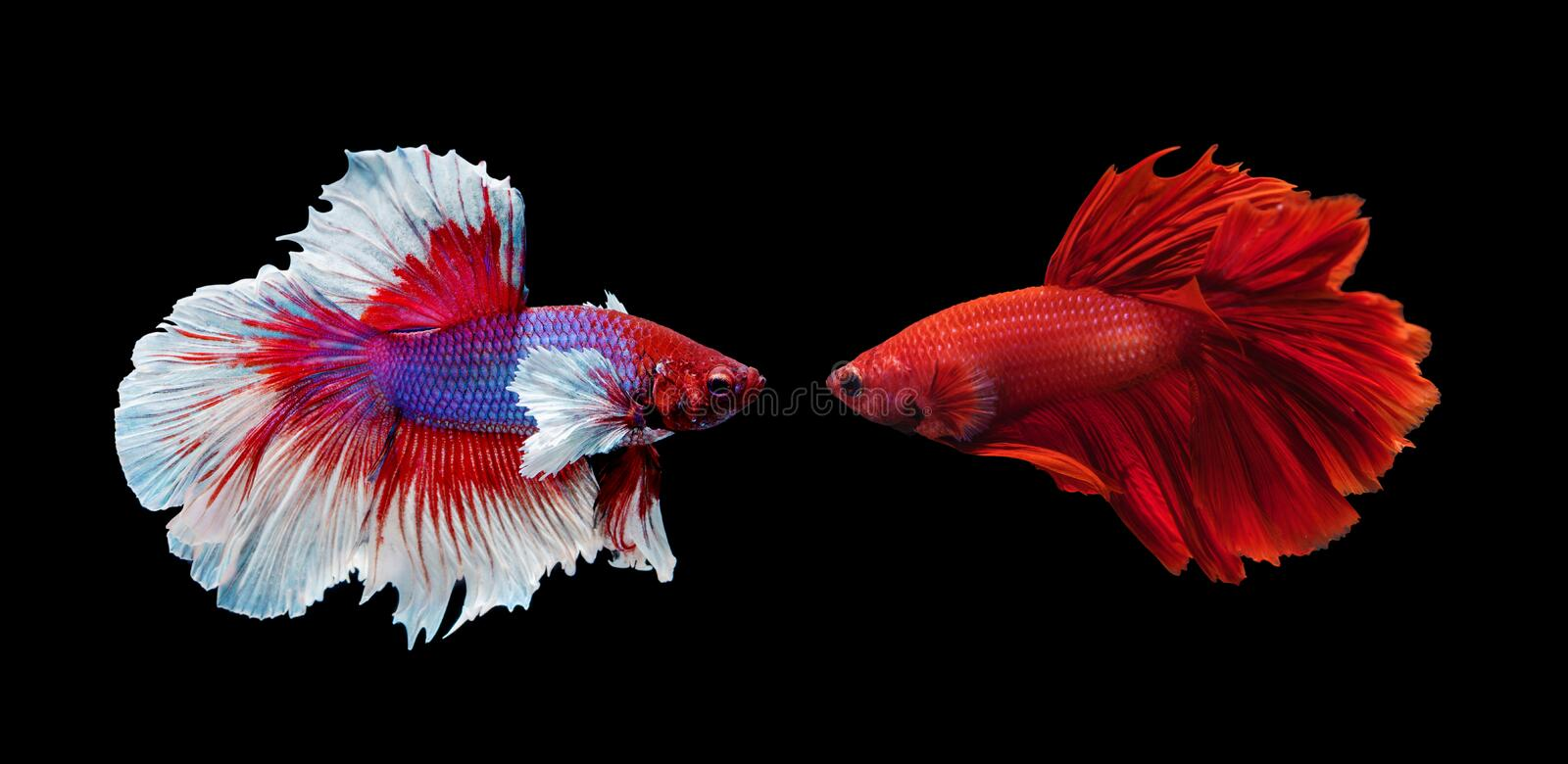 Two siamese fighting fish on black background royalty free stock photo