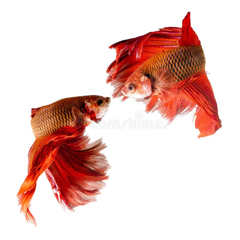 Two siamese fighting fish. Confronting each other royalty free stock image