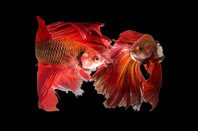 Two siamese fighting fish. Confronting each other isolated on black stock images