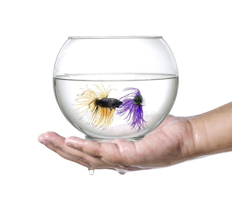 Two Siamese fighting fish in fish bowl, in hand isolated on a white background. royalty free stock photography