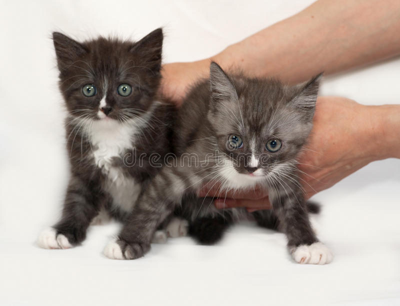 Two siberian fluffy tabby kitten standing on gray royalty free stock photo