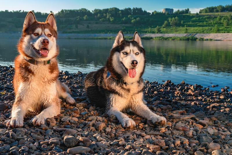 Two Siberian Husky dogs loves life. Happy smiling red husky dog on the shore beautiful summer river. royalty free stock photo