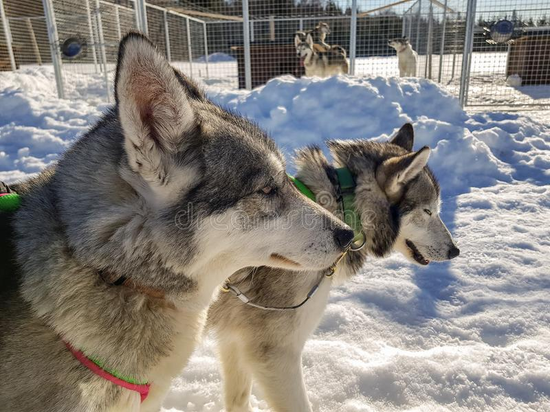 Two Siberian Husky dogs are tired after the race and almost sleeping. Husky dogs has black and white coat color. Snowy white royalty free stock photos