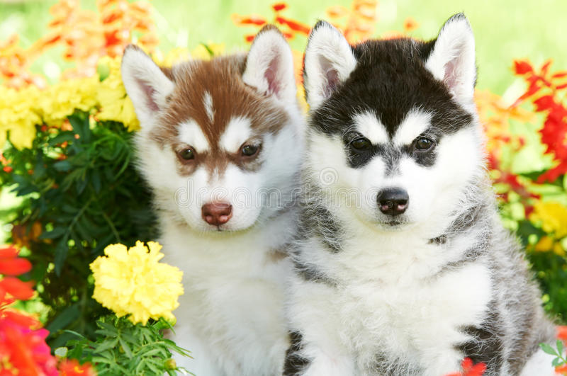 Two Siberian husky puppy dog in flowers stock images