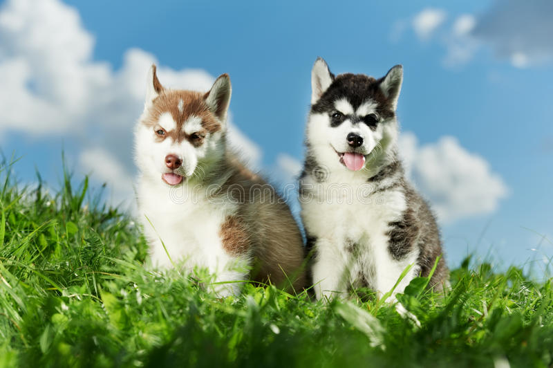 Two Siberian husky puppy on grass royalty free stock photography