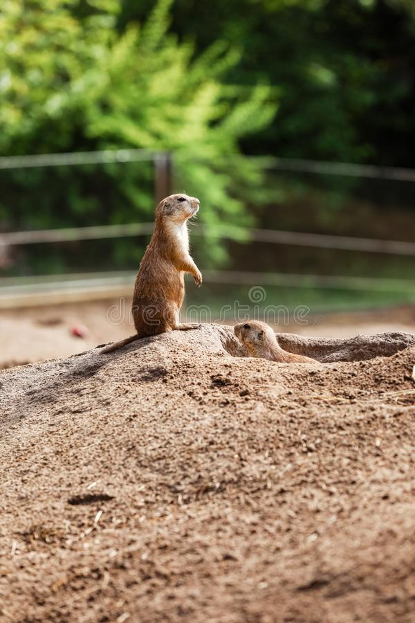 Two sitting natural marmots looking in opposite directions. Curious european suslik posing to photographer stock image