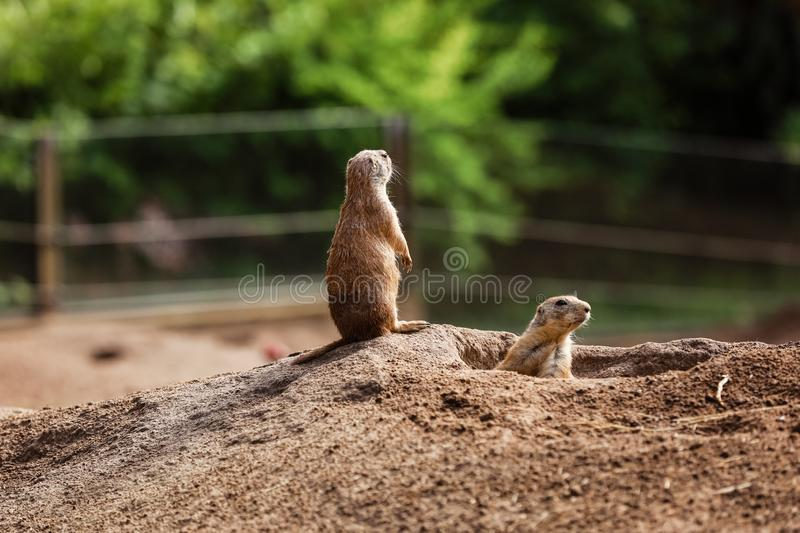 Two sitting natural marmots looking in opposite directions. Curious european suslik posing to photographer stock photos