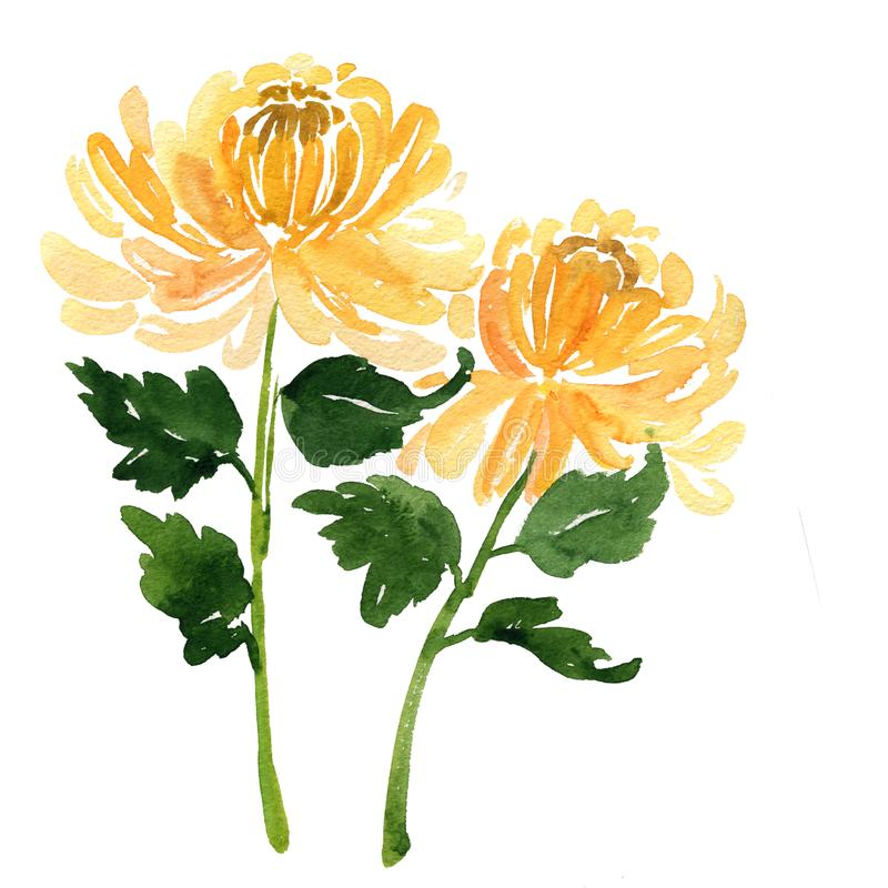 Two sketch watercolor yellow chrysanthemum flowers stock illustration