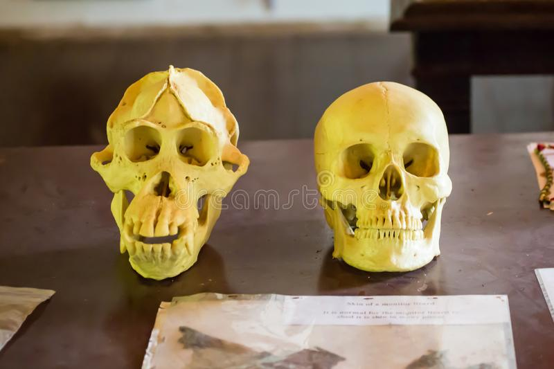 Skulls of human and orangutan the forest in Borneo royalty free stock photography