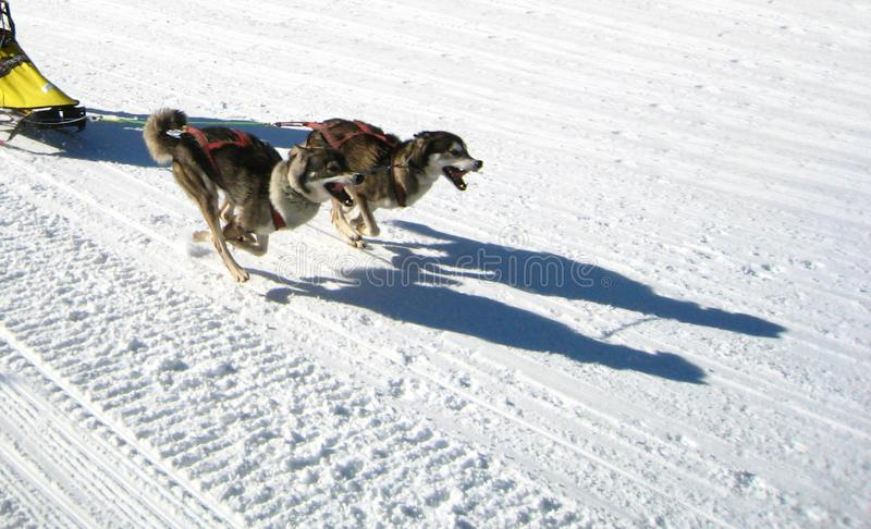Two sled dogs are running in the snow and pull a sled royalty free stock photography