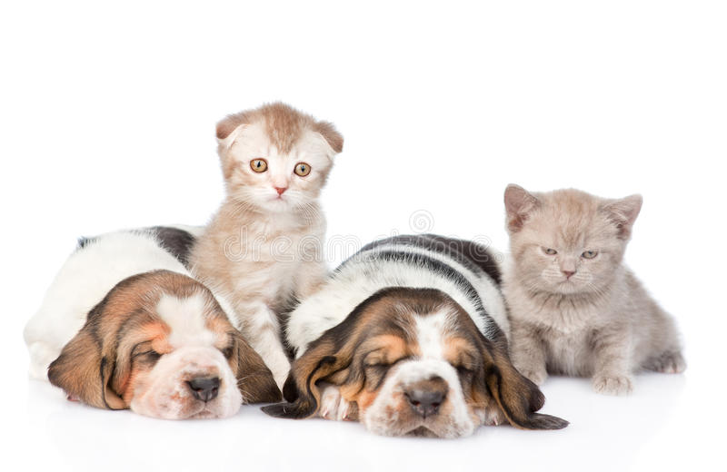 Two sleeping basset hound puppies with kittens. Focus on cat. isolated on white stock photos
