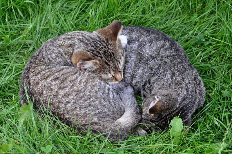 Two sleeping cat royalty free stock photo