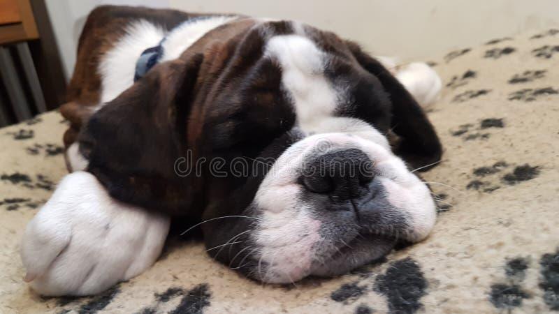 Two sleepy dogs stock photo