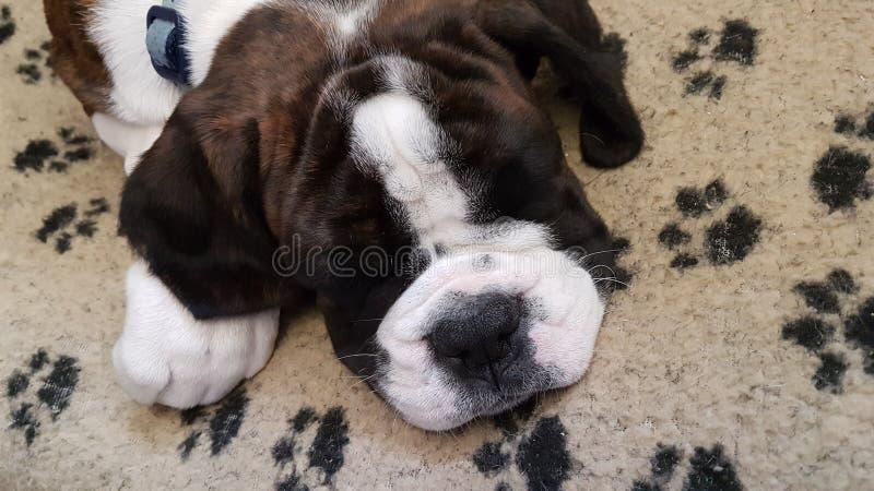 Two sleepy dogs stock photos