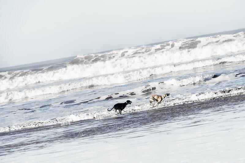 Two Sloughi dogs Arabian greyhound run at the beach royalty free stock photography