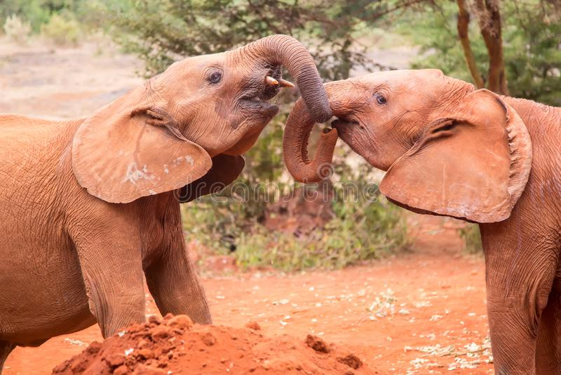 Two small baby elephants playing at elephant orphanage in Nairobi, Kenya, Africa.  royalty free stock photo