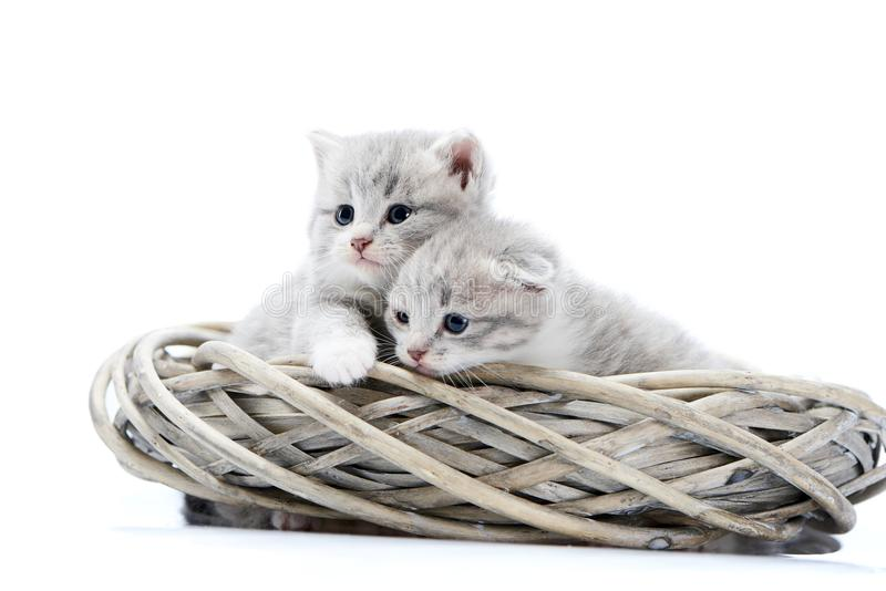 Two small blue-eyed newborn fluffy kittens being curious and looking to the side while playing in white wicker wreath in royalty free stock images