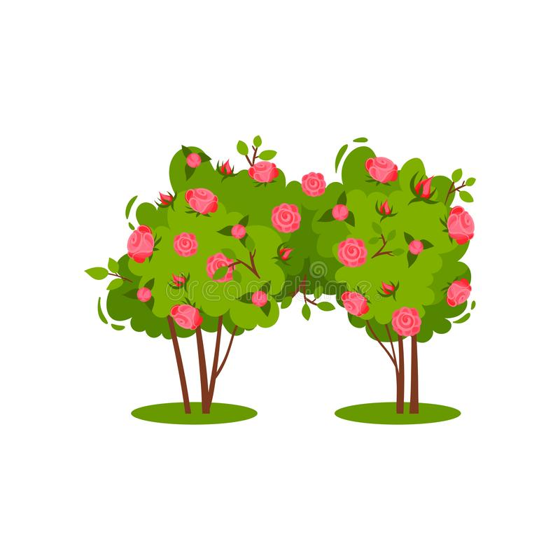 Two small bushes with bright pink roses and green leaves. Garden flower. Beautiful flowering plant. Flat vector icon. Two small bushes with bright pink roses and vector illustration
