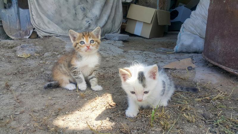 Two small cats in village in the yard, one yellow and gray, and the other white and black stock photography