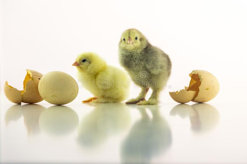 Two small chicken on a white background among shells from eggs. Yellow and gray newborn chicks are waiting for the stock photo