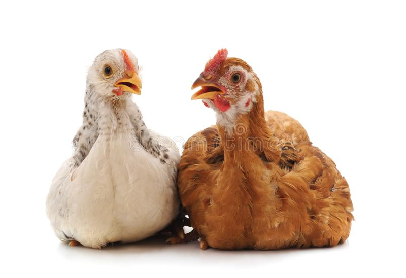 Two small chickens. royalty free stock images
