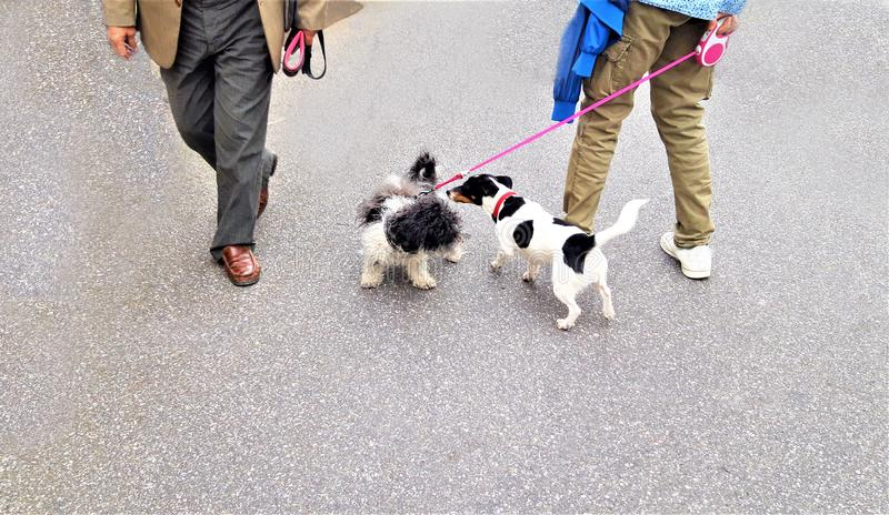 Two small dogs FUNNY walk stock photography