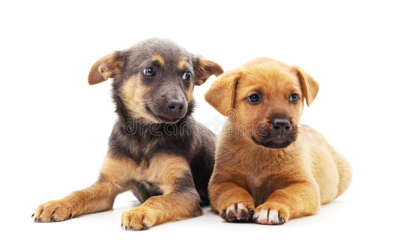 Two small dogs. Isolated on a white background royalty free stock photography