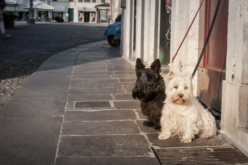 Two small dogs waiting on a pavement royalty free stock images