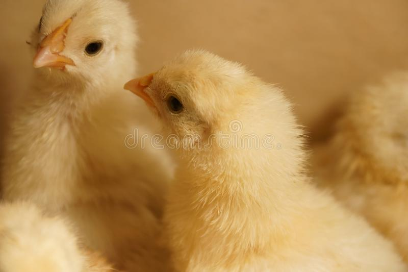 Two small fluffy chick chicks in a cardboard box one looks at yo stock image