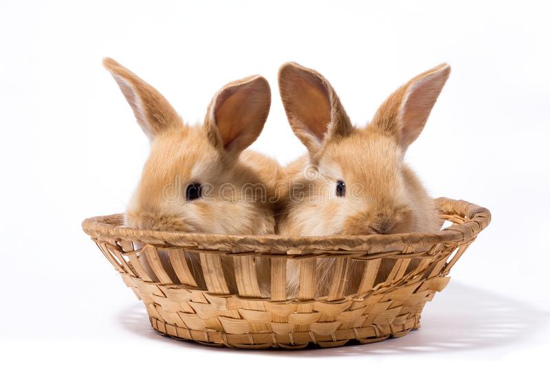 Two small fluffy red rabbits in a basket, isolate stock photos