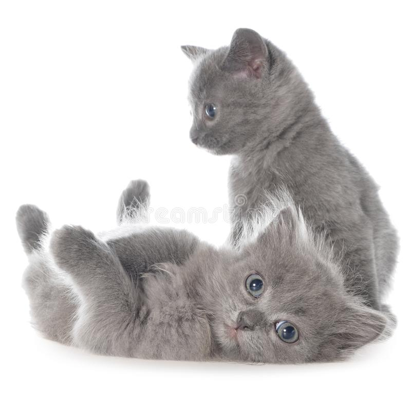 Two small gray kitten playing isolated royalty free stock photography