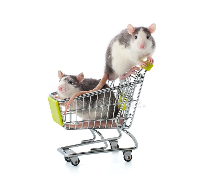Two small gray-white rats are sitting in a shopping trolley. Two small gray-white rats are sitting in a shopping trolley on a white background stock image