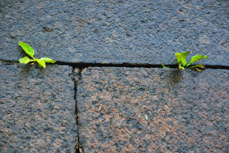 Two small green plants grow on a stone wall royalty free stock photos
