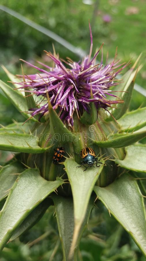 two small insects on a purple flower royalty free stock image