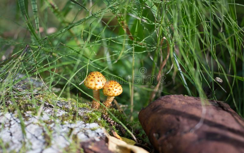 Two small mushroms in the forest stock photo