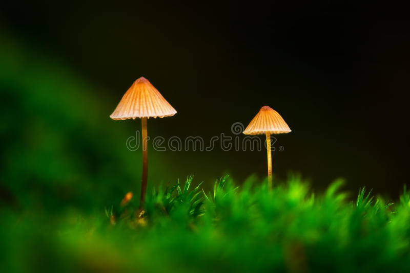 Two small mushrooms in green moss royalty free stock images