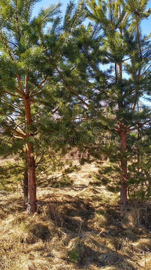 Two small pine trees in the forest royalty free stock photo