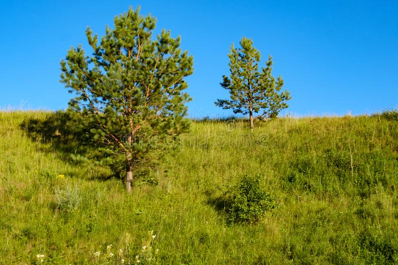 Two small pines on the hillside and blue sky, summer day green stock photography