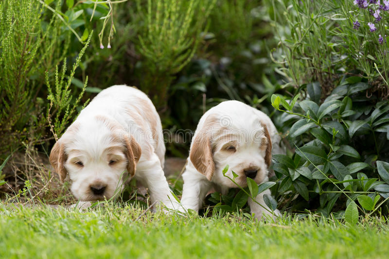 Two small purebred English Cocker Spaniel puppy royalty free stock photography