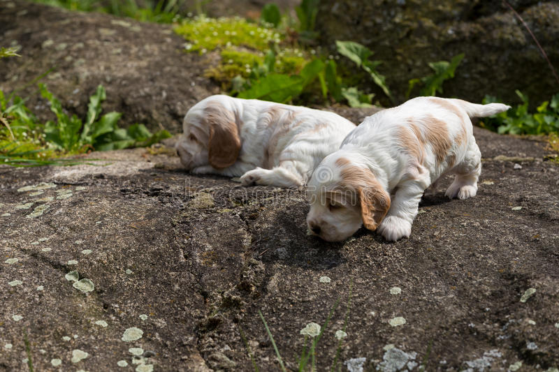 Two small purebred English Cocker Spaniel puppy royalty free stock photo