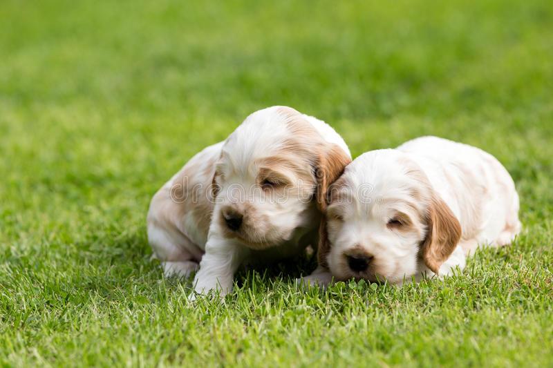 Two small purebred English Cocker Spaniel puppy stock photo