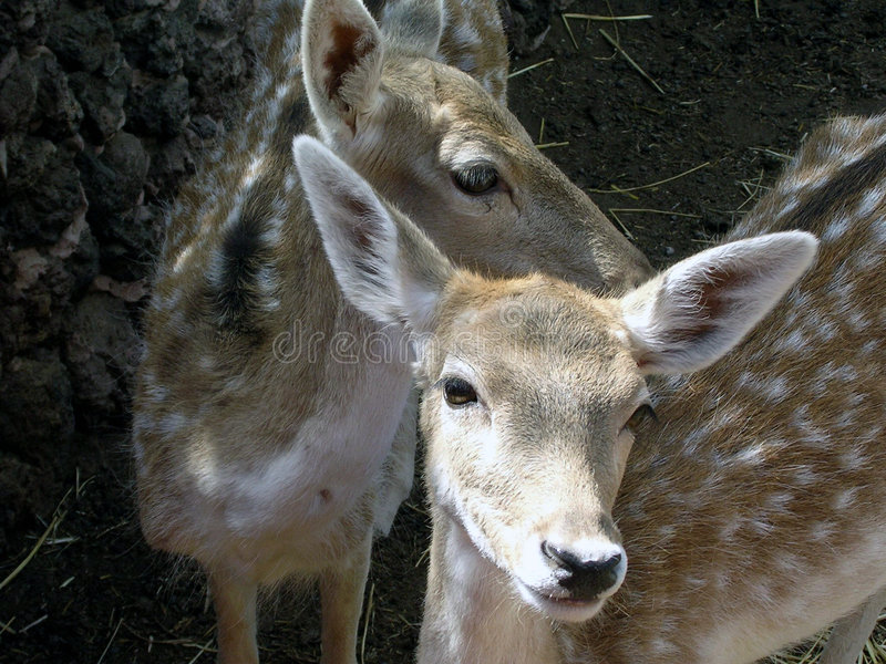 Two small red deer stock image